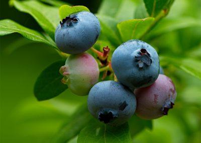 Blueberries by Scott Dunham 027