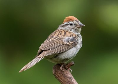 3rd Place Chipping Sparrow by Rich Seeman