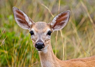 Bambi Key Deer by Jim Walker