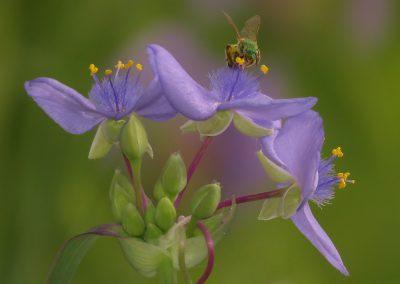 SPIDERWORT AND BEE By J.Weidman
