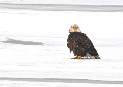 Tattered Eagle by Jim Walker